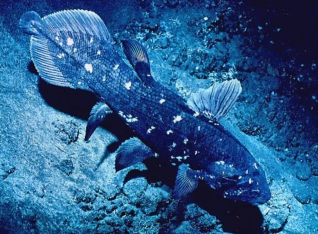 Латимерия или целакант (лат. Latimeria или Coelacanth)