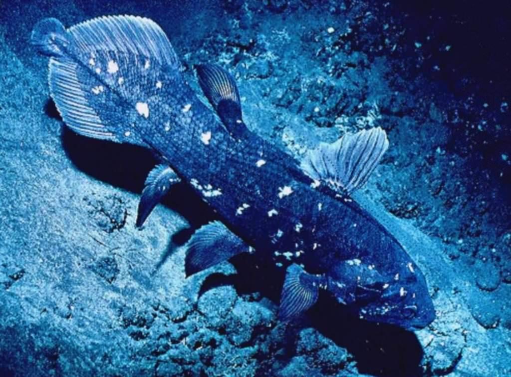 Латимерия или целакант (лат. Latimeria или Coelacanth) Латимерия