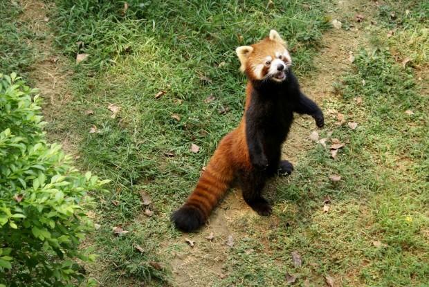 http://ianimal.ru/wp-content/uploads/2011/04/malaya-panda18-620x415.jpg