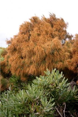 Мясное дерево или казуарина прибрежная (лат. Casuarina littoralis) (англ. Meat Tree)