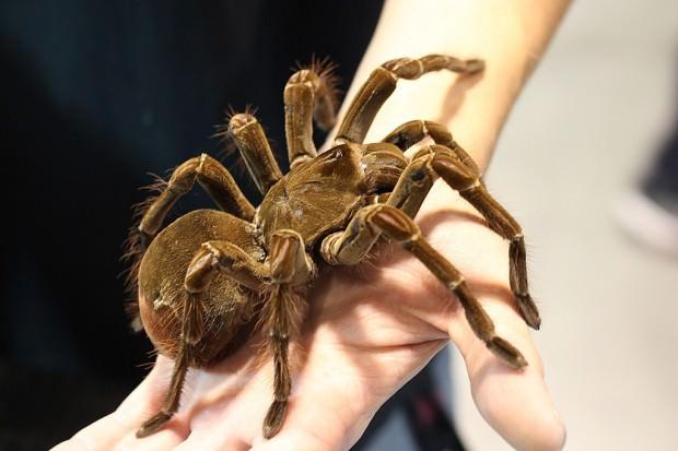 Птицеед-голиаф (лат. Theraphosa blondi) (англ. Goliath bird-eating Tarantula)