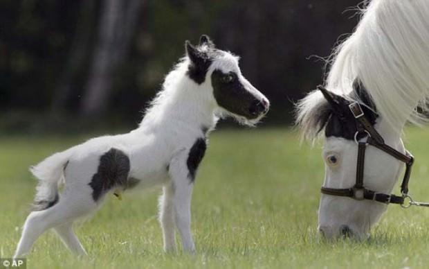 Крошечная лошадь, родившаяся в Нью-Хэмпшире, и уже претендует на мировой рекорд, как самый легкий жеребенок в мире, он.