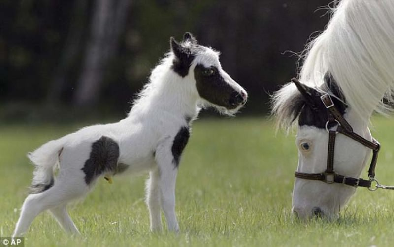 http://ianimal.ru/wp-content/uploads/2011/04/smallest-horse03.jpg