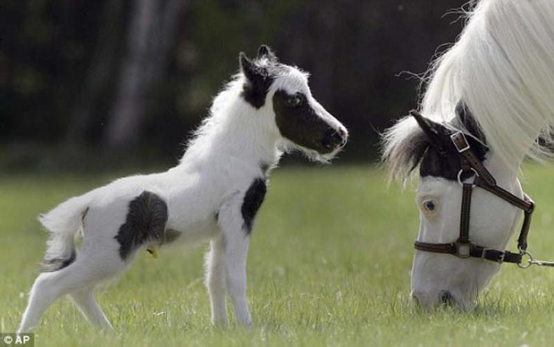 http://ianimal.ru/wp-content/uploads/2011/04/smallest-horse03.jpg
