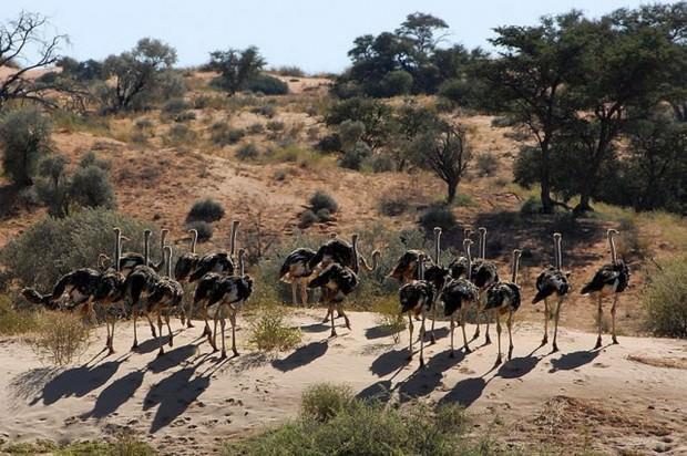 Африканский страус (лат. Struthio camelus)(англ. African Ostrich)