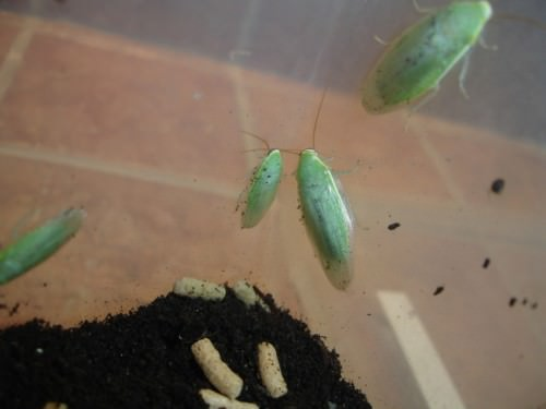 Зеленый банановый таракан (лат. Panchlora nivea) (англ. Green banana cockroach)