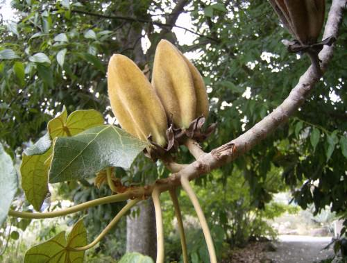 Дерево «Рука дьявола» (лат. Chiranthodendron pentadactylon) (англ. Devil's Hand Tree, Monkey's Hand Tree)