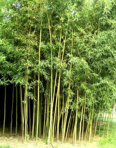 Бамбуковые (лат. Bambusoideae) (англ. Bamboo)