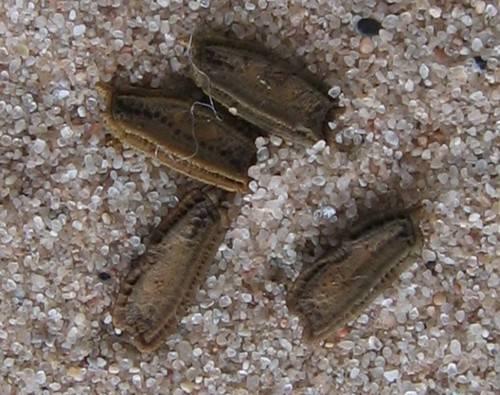 Палочник Ramulus nematodes Blue (лат. Ramulus nematodes Blue)