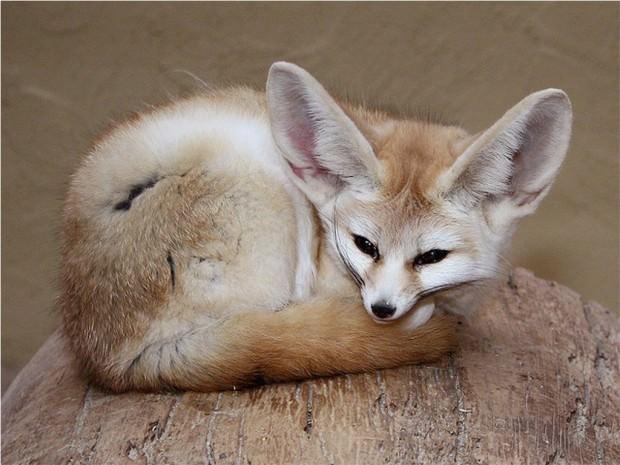 Фенек (лат. Vulpes zerda) (англ. Fennec Fox)