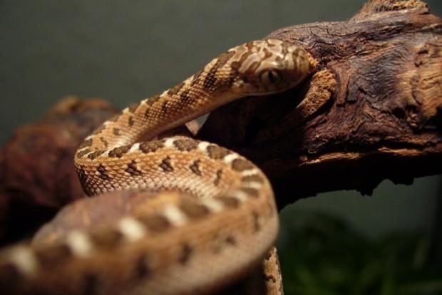 Африканская яичная змея или африканский яйцеед (лат. Dasypeltis scabra) (англ. African Egg-Eating Snake)