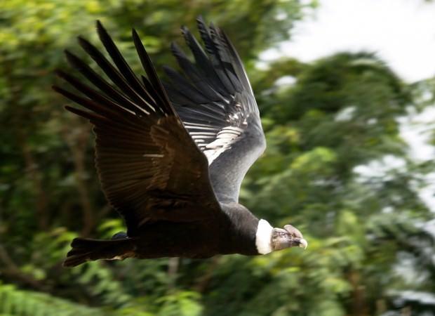 Андский кондор (лат. Vultur gryphus) (англ. Andean Condor)