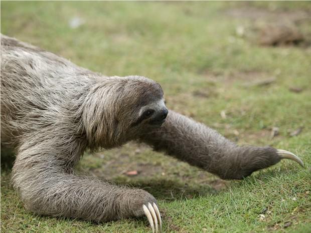 Ленивцы (лат. Bradypodidae) (англ. Three-toed sloths)