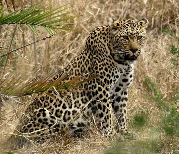 Леопарды (лат. Panthera pardus) (англ. Leopard)