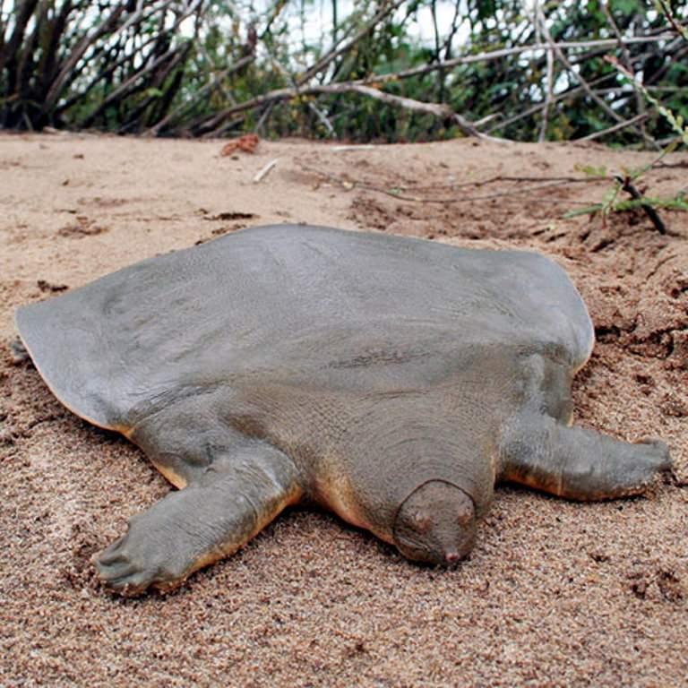 Большие мягкотелые черепахи лат