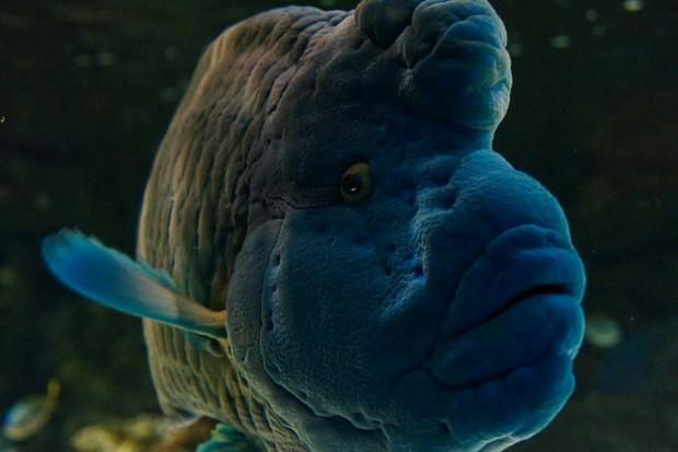 Рыба-наполеон (лат. Cheilinus undulatus) (англ. Napoleonfish)