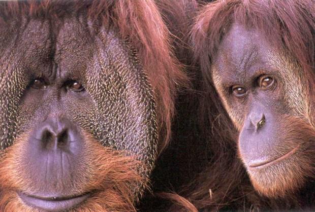 Орангутаны (лат. Pongo) (англ. Orangutan)