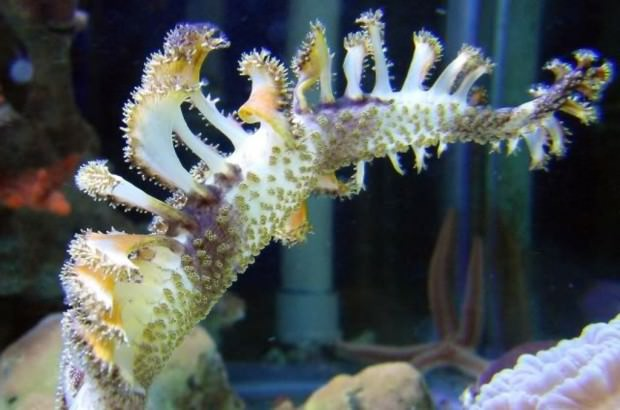 Морские перья (лат. Pennatularia) (англ. Sea Pens)