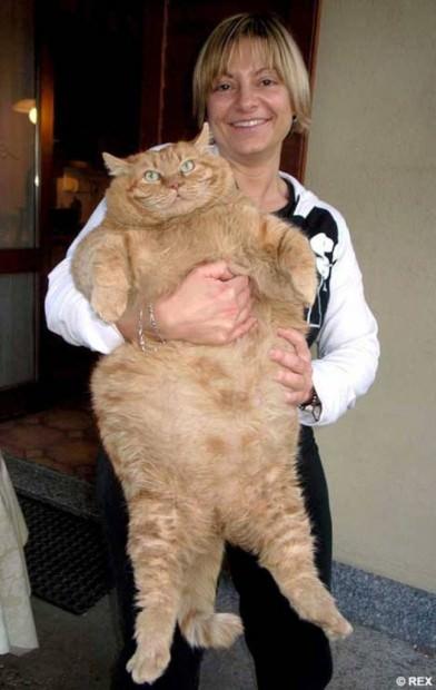 Картинки самых толстых кошек в мире