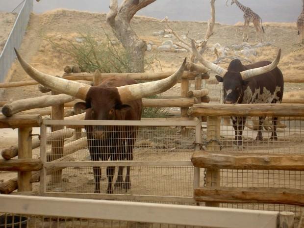 Бык ватусси или Анколе-ватуси (Ankole-Watusi) (англ. Watussi Bull)
