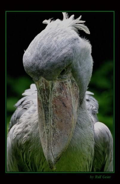 Китоглав или королевская цапля (лат. Balaeniceps rex) (англ. Shoebill, нем. Schuhschnabel)