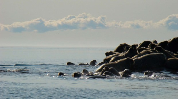 Моржи (лат. Odobenus rosmarus) (англ. Walrus)
