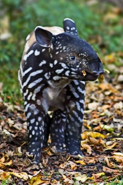 Чепрачный или малайский тапир (лат.  Tapirus indicus) (англ.  Malayan Tapir)