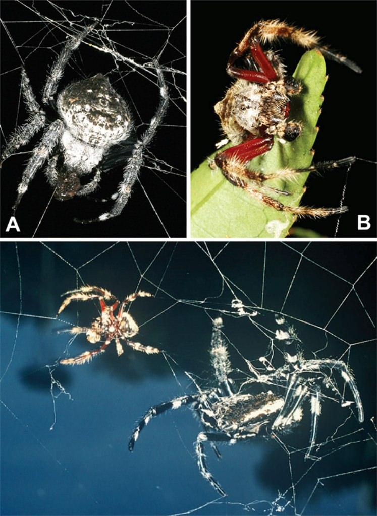 Darwins bark spider