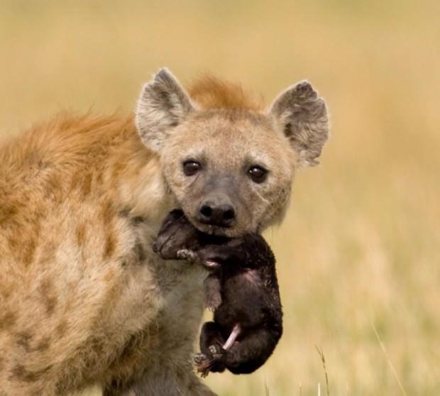 Пятнистая гиена или крокута (лат. Crocuta crocuta) (англ. Spotted hyena )