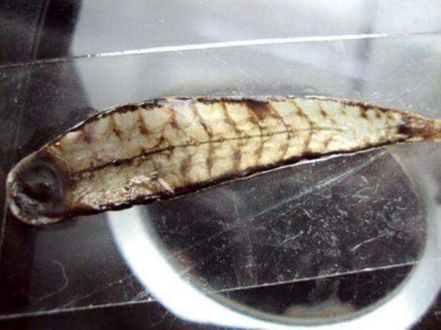 Королевская пиявка Tyrannobdella rex (лат. Tyrannobdella rex) (англ. Tyrant leech king)