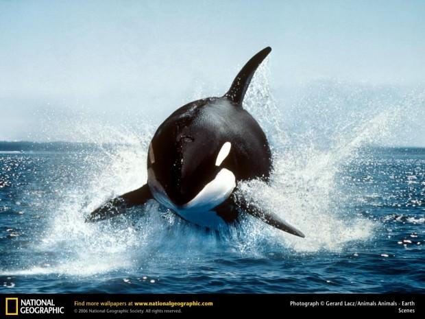 Косатки (лат. Orcinus orca) (англ. Ocra whale or Killer Whale)