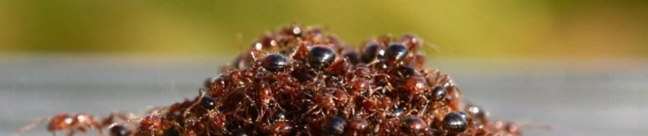 Огненные муравьи (лат. Solenopsis invicta) (англ. Red imported fire ant, RIFA)