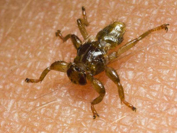 Оленья кровососка или лосиная муха (лат. Lipoptena cervi) (англ. Deer Ked, Elk Fly)