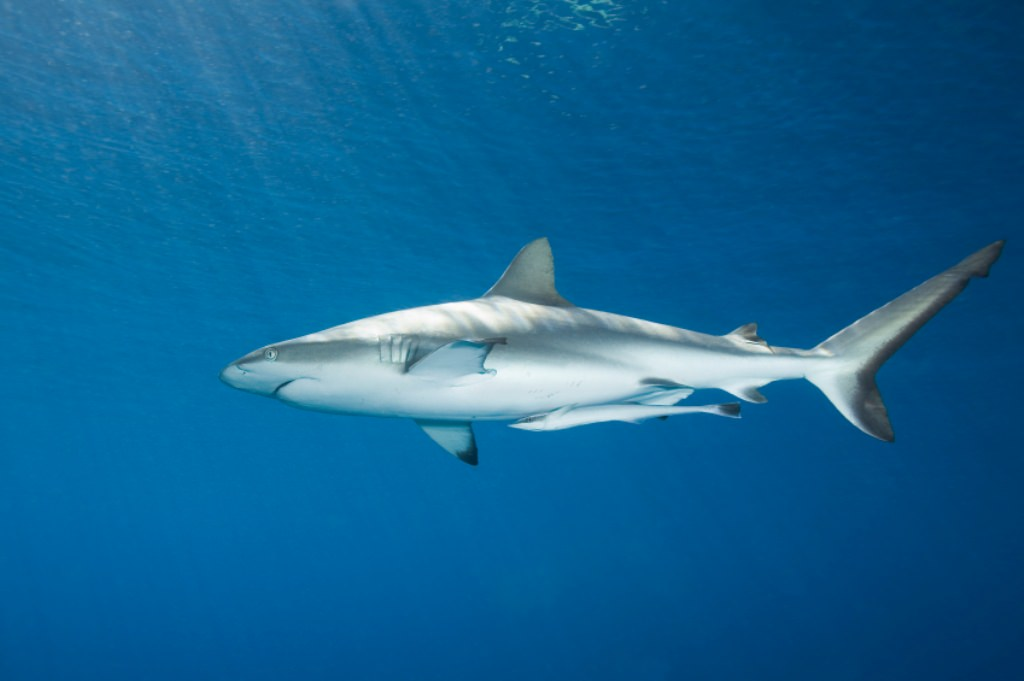 Remora fish and great white shark