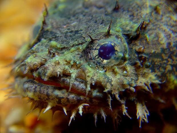Трехиглая рыба-жаба (лат. Batrachomoeus trispinosus) (англ. Three-spined frogfish)