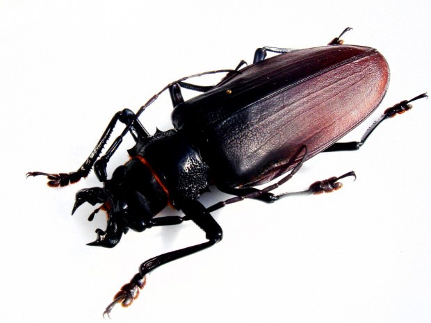 Жук дровосек-титан (лат. Titanus giganteus