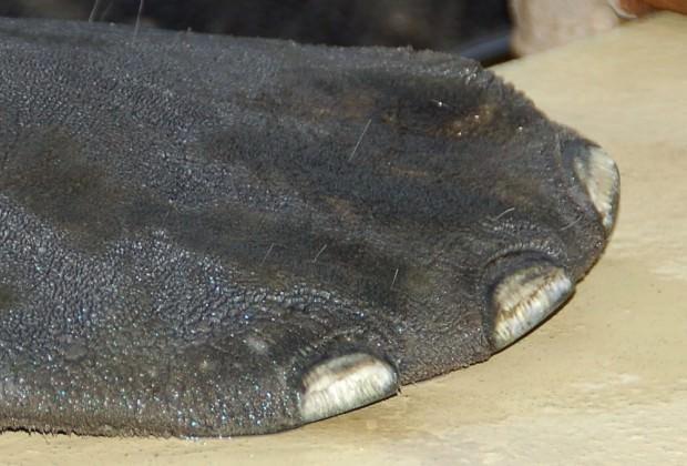 Ламантины (лат. Trichechus) (англ. Manatee)