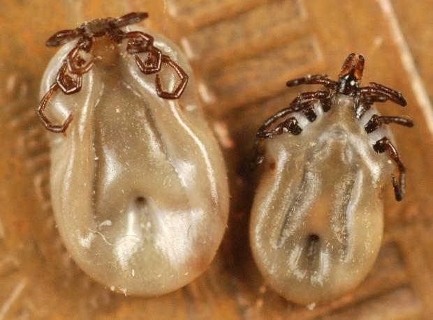 Иксодовые клещи (лат. Ixodidae) (англ. Ticks)