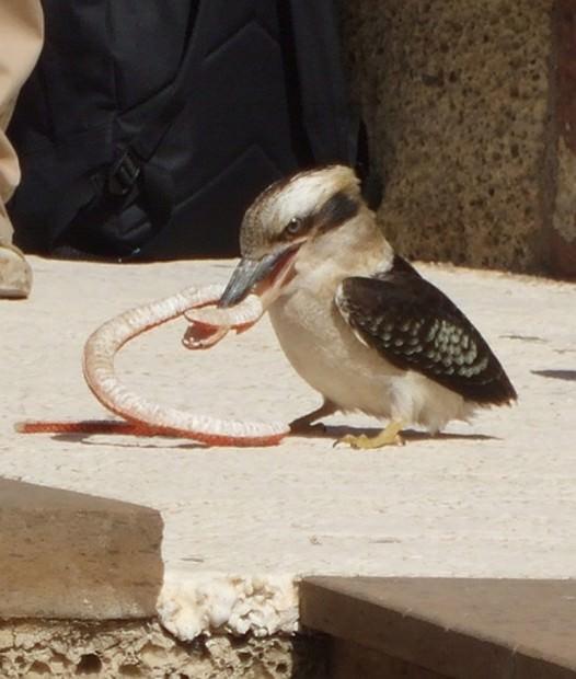 Смеющаяся кукабарра или зимородок-великан (лат. Dacelo novaeguineae/Dacelo gigas) (англ. Laughing Kookaburra)