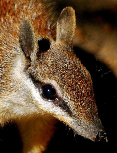Намбат или сумчатый муравьед (лат. Myrmecobius fasciatus) (англ. Numbat)