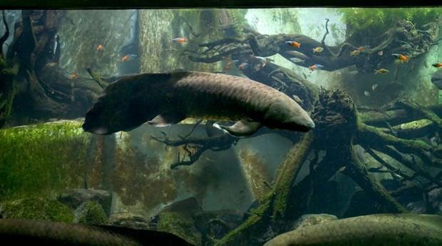Рогозуб или баррамунда (лат. Neoceratodus forsteri ) (англ. Australian Lungfish)