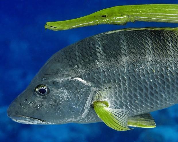 Рыба-флейта или флейторыл  (лат. Aulostomus maculatus) (англ. Trumpetfish)