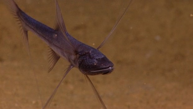 Рыба-тренога (лат. Bathypterois grallator) (англ. Trippod fish)