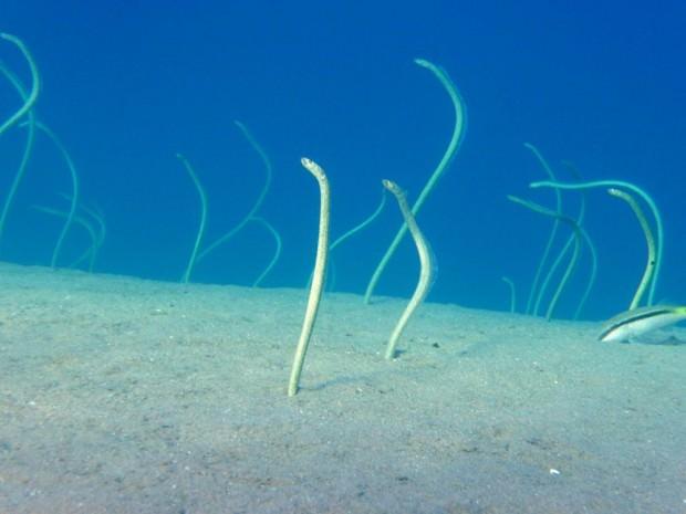 Пятнистый садовый угорь (лат. Heteroconger hassi) (англ. Spotted Garden Eel) и Красноморская горгасия (лат. Gorgasia sillneri) (англ. Red sea Garden eels)
