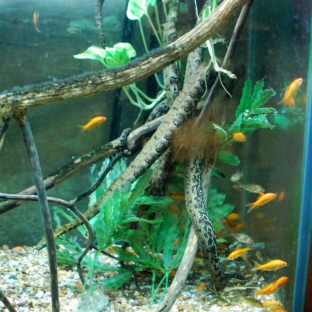Герпетон или щупальценосная змея (лат. Erpeton tentaculatum) (англ. Tentacled Snake)
