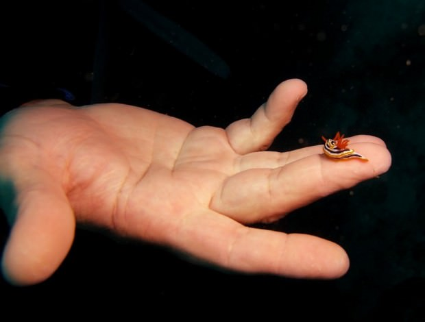 Голожаберные моллюски (лат. Nudibranchia)