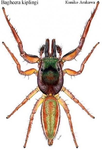 Паук-вегетарианец Bagheera kiplingi (лат. Bagheera kiplingi) (англ. Vegetarian spider)