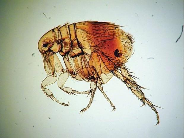 Крысиная южная блоха (лат. Xenopsylla cheopis) (англ. Oriental rat flea)