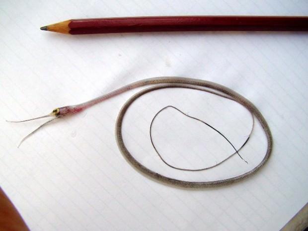 Нитехвостый угорь (лат. Nemichthys scolopaceus) (англ. Slender snipe eel)