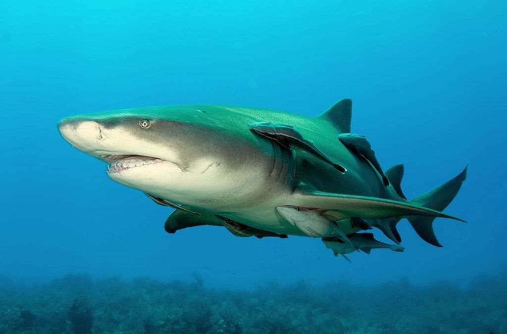 Cool great white shark pictures